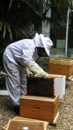 Ouverture des ruches pour la récolte du miel